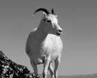 Kai Staats - Alaska, 1990: Dall Sheep Portrait
