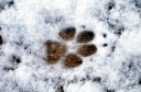Coyote print in snow, J-Tree