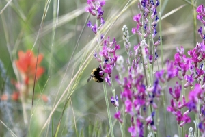 Kai Staats: Buffalo Peak Ranch, flower and bee