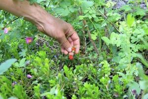 Kai Staats: Wigwam Wilderness, straw berry