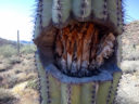 Wounded Saguaro, Superstitions, by Kai Staats