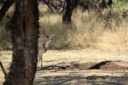 Deer in the mesquite bosque - by Kai Staats