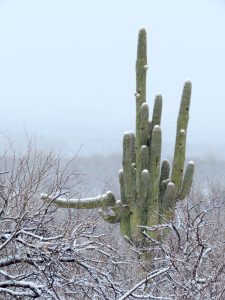Saguaro in Snow, by Kai Staats
